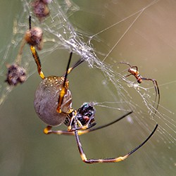 MALE AND FEMALE GOLDEN ORB by RS